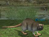 A crag rat