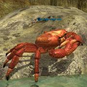 A large coastal crab