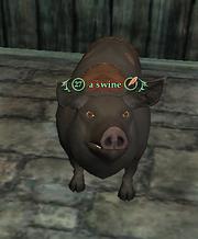 A swine