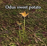 Odus sweet potato (Visible)