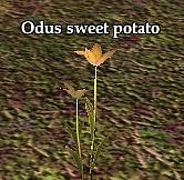 Odus sweet potato (Visible)