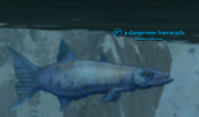 A dangerous barracuda