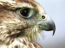 Herald falcon