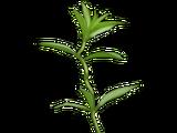 Descurainia sophia