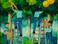 EP096 Ayudantes recogiendo los pomelos