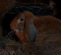 Endorian rabbit.png