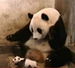 Panda sneeze