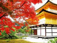 Nippon maple