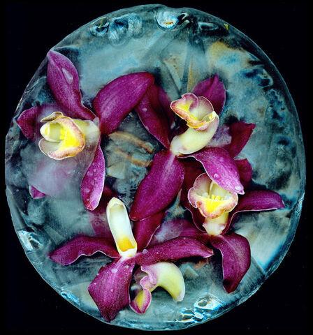 File:Orchids Frozen in Ice.Justin Kestler.jpg