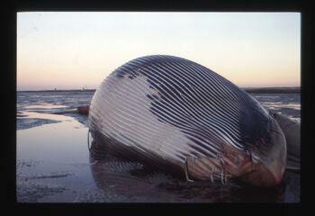 Fin Whale wiki