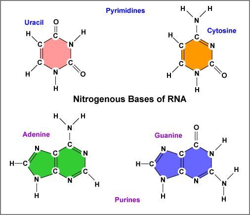 Nitrogen Bases Diagram Diy Wiring Diagrams