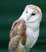 American Samoan Barn Owl