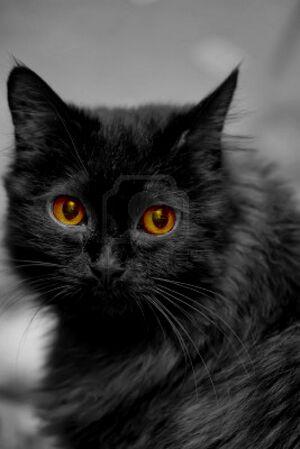 13562302-beautiful-fluffy-black-cat-on-an-orange-background