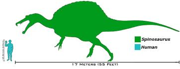 Spino SIze