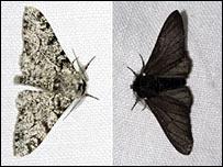 File:Peppered moth 203 203x152.jpg