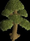 Yew tree (1)
