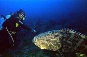 080821-giant-grouper-02.hmedium