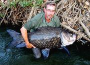 Giant siamese carp 18