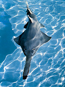 File:Sawfish.jpg