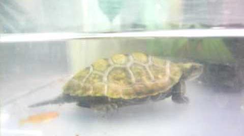 イシガメvsヒメダカ(Japanese pond turtle vs Japanese medaka)