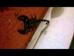 Cheap-exotic-pets-emperor-scorpion