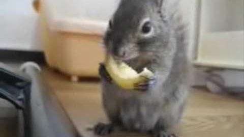 Squirrel Eats Lemon
