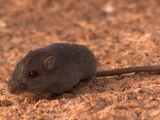 Lava mouse