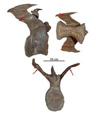 Aucasaurs - 2(Caudal vertebra(Jaime Headden))