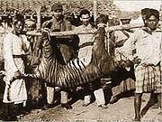 180px-Panthera tigris balica