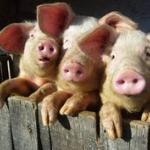 Three swines
