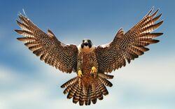 Falcon-Image 1