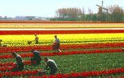 Tulipanaaker