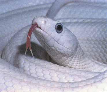 File:Rat-snake.jpg