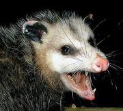 Werepossum