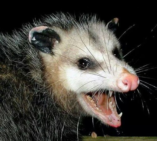 File:Werepossum.jpg