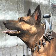 Reinforced dog collar worn