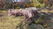 FO76WA Aaronholt homestead (pack of abandoned Brahmin)