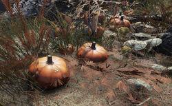 FO76 Pumpkin plant