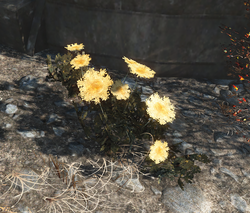 FO4 Mutated carrots