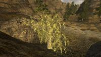 Cápsula mesquite planta