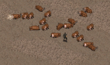 A herd of brahmin