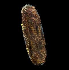 Wild corn