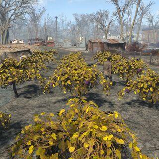 Mutfruit farm