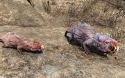 Mole rat brood mother