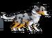 FoS Australian Shepherd