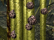 Punga seeds on Mother Punga
