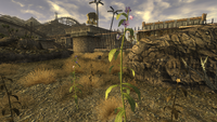 Baya de solanácea planta