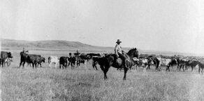 Cowboy cattle