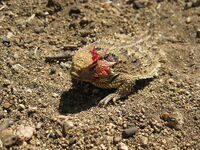 Horned lizard defense