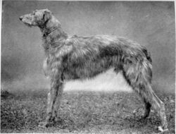Scottish-deerhound-dog-large